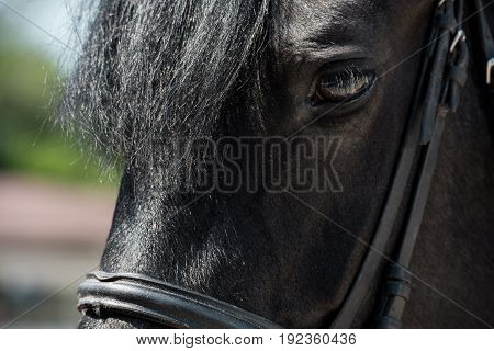 Close-up view of beautiful brown purebred horse with bridle