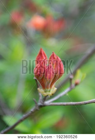 Flame Azalea Buds on Foggy Morning just before they blossom