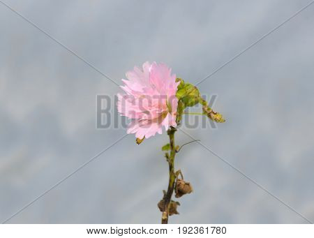 Pink flower against grey background