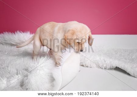 Cute labrador retriever puppy playing with fluffy plaid at home