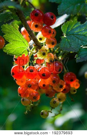 Red currant bush on a green bush in a summer sunny day