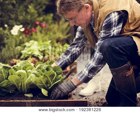 Senior adult picking vegetable from backyard garden