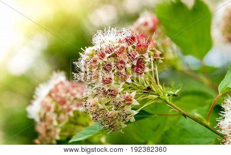 Inflorescences puzyreplodnika kalinolistnogo, Physocarpus opulifolius, on a Sunny summer day.