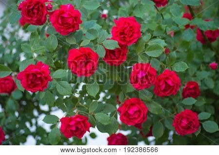 The garden red roses. Red Roses in the garden.