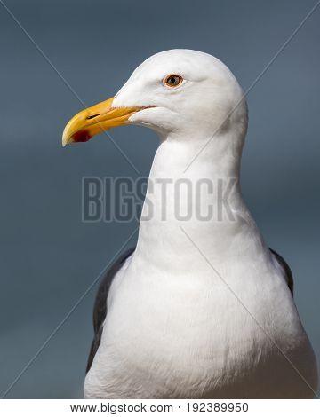Closeup Of A California Gull - San Diego, California