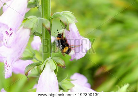 Bee Pollinating a Pink Flower in Spring