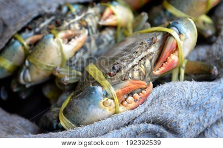 Life Meat Crab For Sale