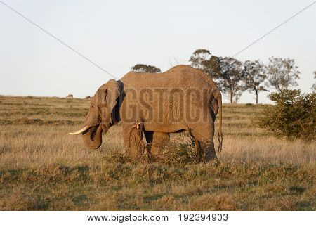African Bush Elephant foraging in South Africa
