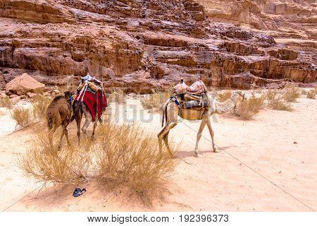 Some dromedaries also called the Arabian camel in the Wadi Rum desert