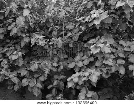 BLACK AND WHITE PHOTO OF LEAVES UNDER SUNLIGHT