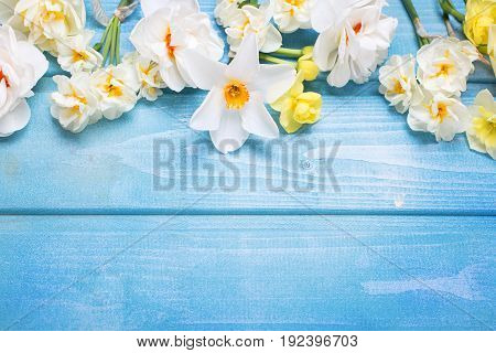 Border from white tulips narcissus muscaries flowers on blue wooden background. Selective focus. Spring background. Place for text.