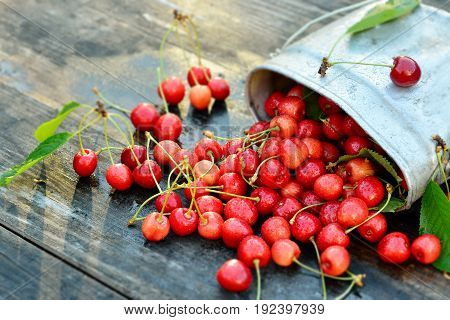 Fresh organic cherries in metal can on wooden table background with sun lights. Close up view, detox
