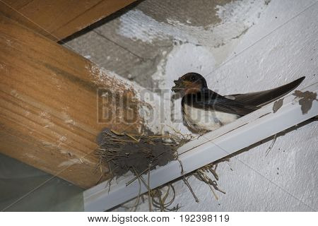 In summer under the roof in the village the swallow builds a nest.