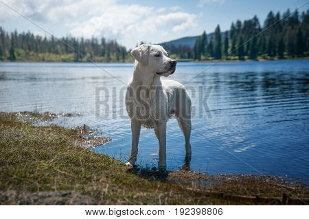 Dog taking a bath and standing in water in front of beautiful mountain lake