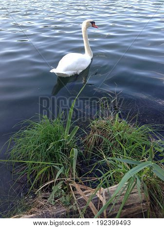 Swans at the lake. White swans swiming on the lake