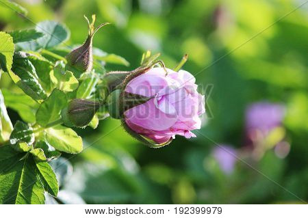 Gently pink bud of blossoming dogrose Rosa on a branch in summer
