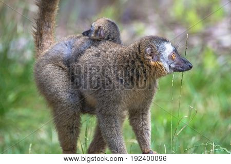 Portrait of Madagascar lemur and a baby on its back open resort