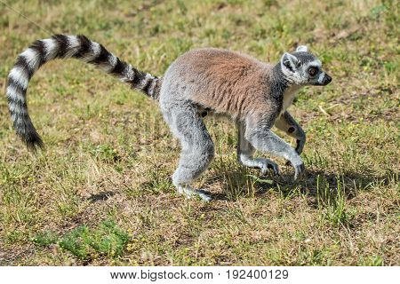 Ring-tailed Madagascar lemur at open resort, adult