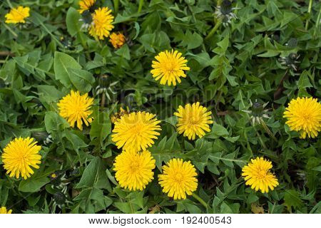 Flowers And Buds Of Dandelions In Spring