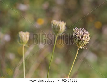 bud of a flower with hundreds of sticky seeds