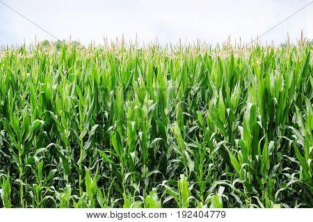 green corn field on a sunny summer day