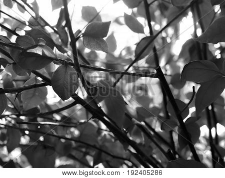 BLACK AND WHITE PHOTO OF LEAVES UNDER SUNLIGHT, STOCK PHOTO