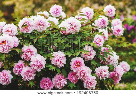 Beautiful pink peonies blooming in spring garden