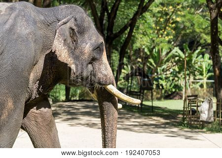 Close Up Of Asian Elephant Walking In Park