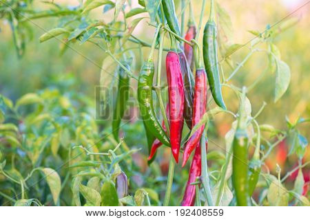 Red chili peppers on the tree in garden show agriculture industry