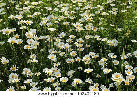 Beautiful spring daisy flowers on a green meadow.