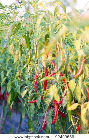 Red chili peppers in garden show nature background