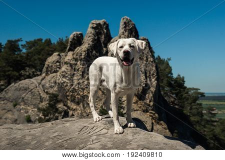 young cute labrador retriever dog puppy on a mountain in front of blue sky