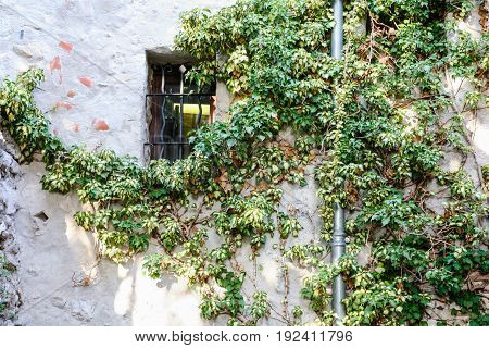 Green Ivy On Wall Of Medieval House In Eze Town