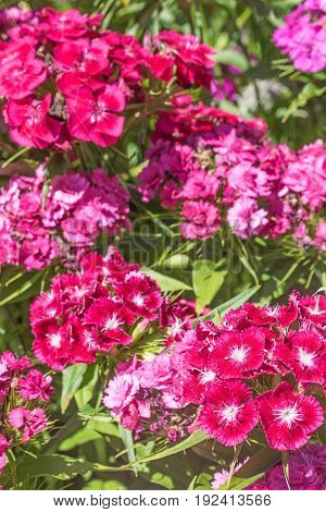 Summer flowering Sweet William (Dianthus barbatus ). Vertically.