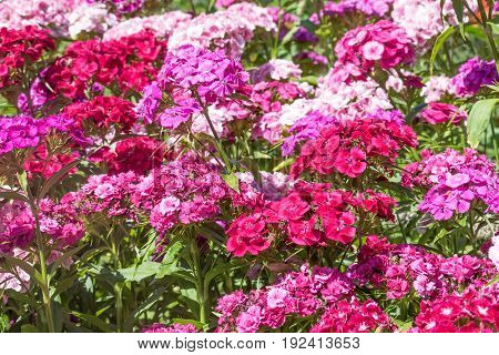 High angle view of the Summer flowering Sweet William bed (Dianthus barbatus )