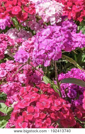 Purple pink and red Summer flowering Sweet William (Dianthus barbatus ). Vertically.