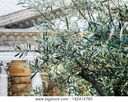 Olive Tree And Maison Carree In Nimes City