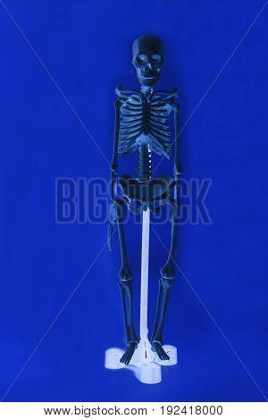 Human skeleton on a blue background .
