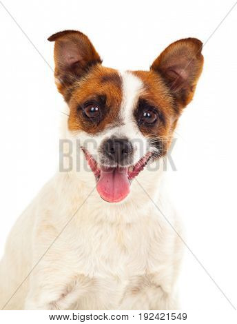 Beautiful small dog isolated on a white background