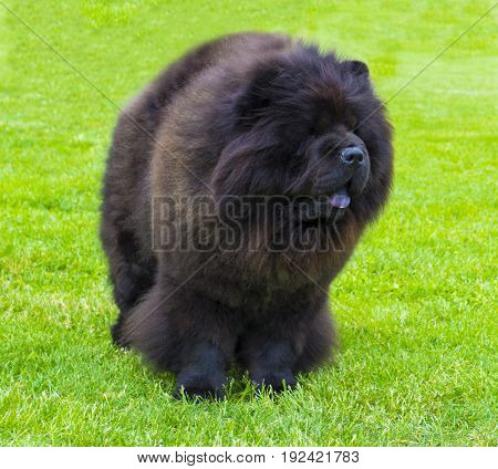 dog chow chow. Beautiful dog chow-chow in the park. Brown friendly chow-chow dog
