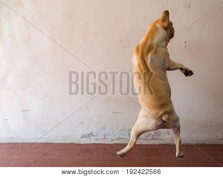 Brown french bulldogs animal is jumping exercise