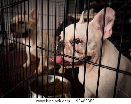 French bulldogs is sticking inside metal cage