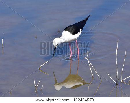 Nature reserve Albufera  in Spain on island Majorca,black winged stilt