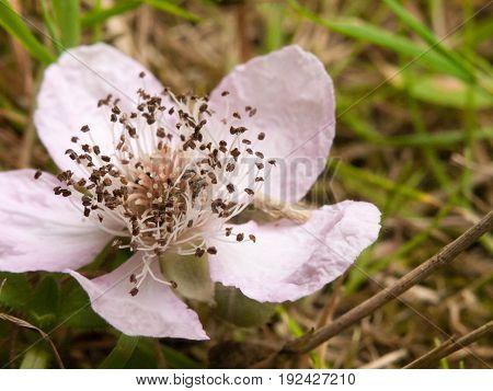 Bramble Flower Rubus Fruticosus Pink And White Close Up