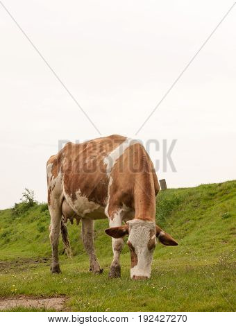 Close Up Of Female Cow In A Field Eating And Grazing Relaxing In Spring Overcast Drab Weather Little
