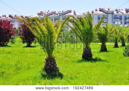 date palms in the resort area adler
