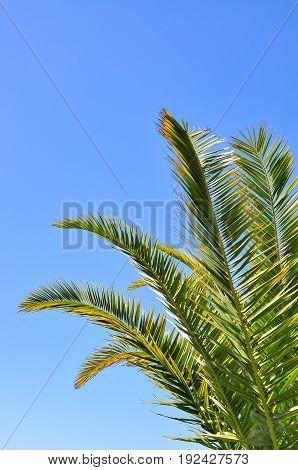 many palm fronds on blue sky background.