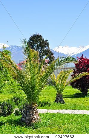 palm trees on the background of snowy mountains in the Adler district of Sochi.