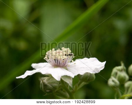 beautiful bramble flower outside in summer close up