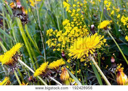 Sunburnt In The Sun Dandelions In The Summer Field